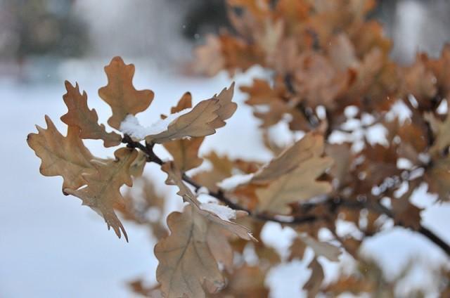 """Ветка """"зимнего дуба"""""""