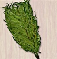 Высокое содержание эфирных масел в листьях эвкалипта помогает при заболеваниях органов дыхания