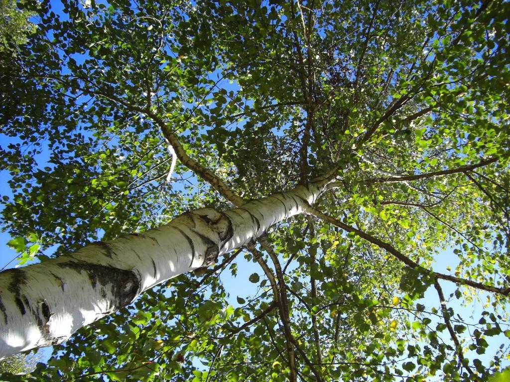 Березовые веники заготавливают с начала июня до середины июля