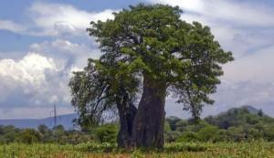 Дерево абаши