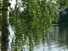 Фото плакучей березы вблизи водоема - подходящее дерево для сбора сырья