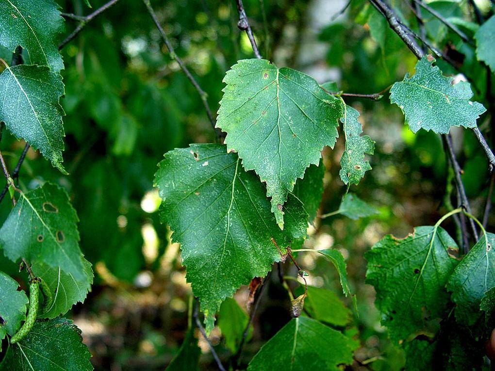 В листьях березы содержатся дубильные вещества (до 9 %), флавоноиды (гиперозид, кверцетин), сапонины (до 3.2 %), сложные эфиры тритерпеновых спиртов, производные даммарана, кумарины, бетулоретиновая и аскорбиновая (2-8 %) кислоты и эфирные масла (до 0.1 %)