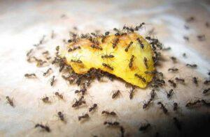 Заманивать муравьев проще всего в ароматные и сладкие ловушки